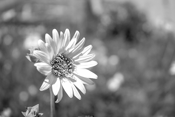 Lone Sunflower - Black and white photograph taken by K. Bradley Washburn